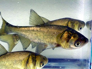 Juvenile bighead carp (photo by UMESC)