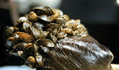Zebra mussels on native mussels (photo by Randy Westbrooks, USGS)