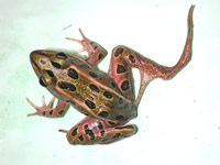 deformed northern leopard frog
