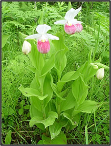 A pink lady slipper in the Tamarac National Wildlife Refuge in Minnesota. Courtesy of the U.S. Geological Survey.
