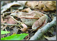 Wood frog (Rana sylvatica) in northern Wisconsin. Courtesy of the U.S. Geological Survey.